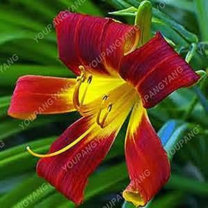 Nuevos aire libre hermoso Bonsai Lilium flor de 100 PC raras semillas azules Lily (lirio No Bulbos) Las plantas en maceta raras cultivar un huerto casero de bricolaje azul de cielo