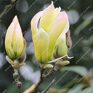 Fash Lady ZLKING 10 pz Cinese Arcobaleno Magnolia Rare Yulan Fiore Bonsai Per La Festa Nuziale Perenne Orchidea Profumata: 3 Generic