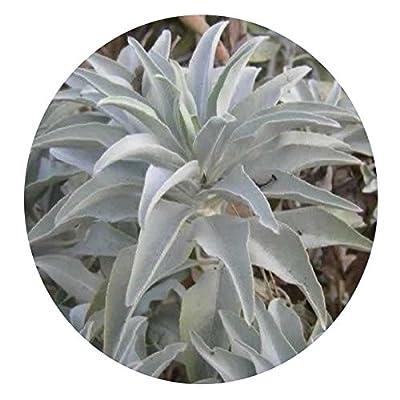 200pcs California White sage Seeds Sacred salvia apiana Ceremonial aromaticscsyc
