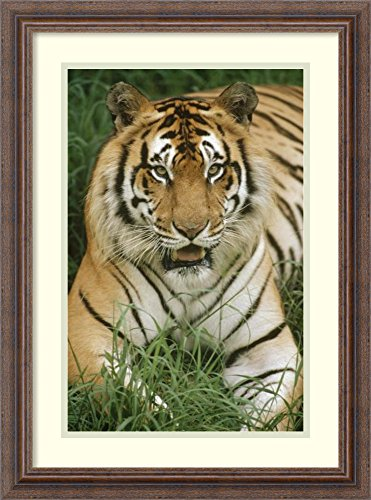 - Framed Wall Art Print | Home Wall Decor Art Prints | Bengal Tiger Portrait, Hilo Zoo, Hawaii, Native to India and Southeast Asia by Gerry Ellis | Country Rustic Decor