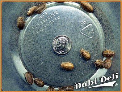 Small (1/2''): 3 grams (average count 25) Blaptica dubia by Dubi Deli