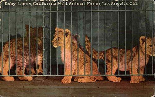 Baby Lions, California Wild Animal Farm Los Angeles CA Original Vintage Postcard