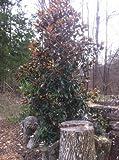 Dwarf Southern Magnolia (Magnolia grandiflora 'Little Gem')