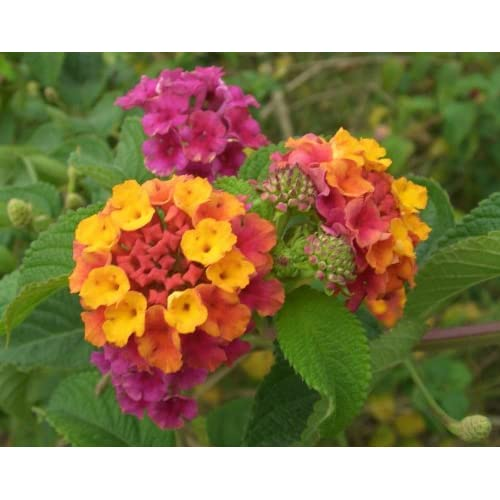 (ALAN)~MIXED LANTANA~Seeds!~A Neon Rainbow! for sale