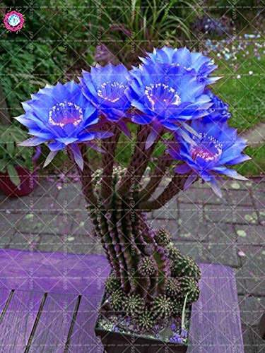 100pcs/bag Seeds Cactus Flower Rare Blue Flower Prickly pear Perennial Flowering Potted Plants Opuntia Succulent Plants