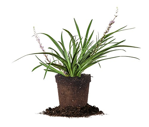 Variegated Liriope - Size:  1 Quart, live plant, includes special blend fertilizer & planting guide (Fruit Flower Delivery)
