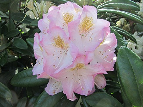 Rhododendron Catawbiense Album #1 Container Size Plant