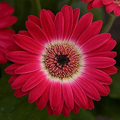 "(AGERR)~""REVOLUTION RED/WHITE BI-COLOR"" GERBERA DAISY~Seed!!~~~Lovely & Lively! …"