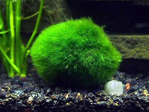2 Giant Marimo Moss Balls (1.5-2.5 inches, 8-15 Years Old!) - Over 5X AS Large AS Nano MARIMO! - Great for Fish, Shrimp, and Snails! by Aquatic Arts]()