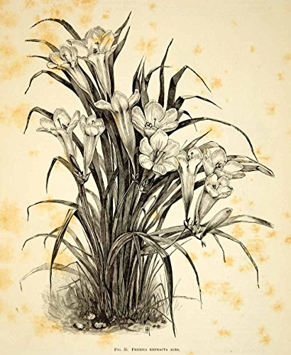 1887-wood-engraving-art-botanical-grandmas-freesia-flower-plant-gardening-idg1-original-wood-engravi