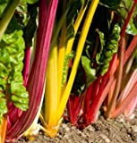The gold standard for multicolored Swiss chard. Lightly savoyed, green or bronze leaves with stems of gold, pink, orange, purple, red, and white with bright and pastel variations. Consistent growth rate and strong bolt resistance across all c...