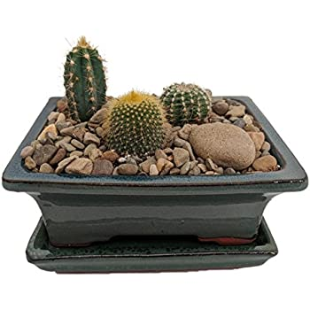 Amazon Com Live Baby Cactus 1 Inch Ceramic Pot Exactly