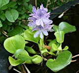 Aquarium Plants Discounts Water Hyancinth - Floating Live Pond Plant