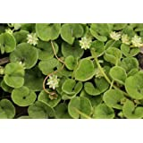 SeedRanch Dichondra Repens Seeds 1 Lb.