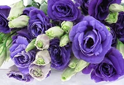 ANNUAL PURPLE AND LIME LISIANTHUS FLOWER SEEDS MIX 20