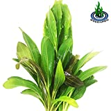Product review for 3 Species Amazon Sword 10+ Stems Echinodorus Bleheri   Red Rubin   Parviflorus Rosette Easy Live Aquarium Plants Package By Greenpro