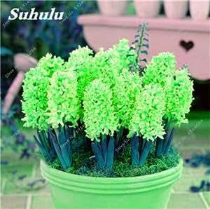 Semillas del jacinto de flores, semillas de flor de Bonsai, semillas verdaderas Hyacinthus orientalis, Hogar y jardín planta Ornamental-50 PC 17
