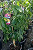 Sapote Tree Shipped in Soil, Five Gallon Container