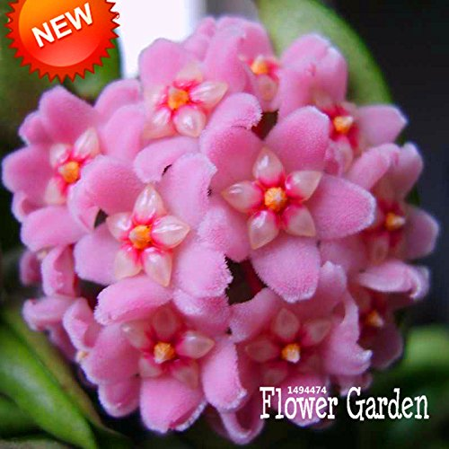New Seeds 2015!Home Bonsai Seeds Rare Hoya Orchid,Hoya Carnosa Seeds Orchid Flower Seeds Series 100 Pieces//Package,#W1UETW