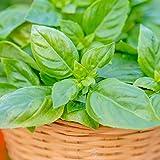 Burpee Pesto Party' Sweet Italian Basil Disease-Resistant, 3 Live Plants | 2 1/2'' Pot