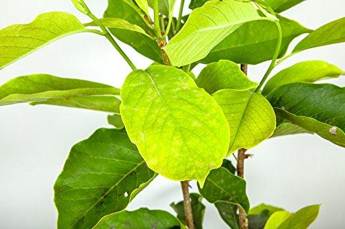 ANN Magnolia Tree - Size: 5 Gallon, Live Plant, Includes Special Blend Fertilizer & Planting Guide by PERFECT PLANTS (Image #3)