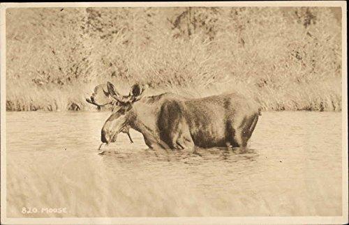 Moose Other Animals Original Vintage Postcard