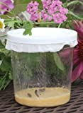 Butterfly Larvae Kit - 6 Caterpillars Ships NOW!