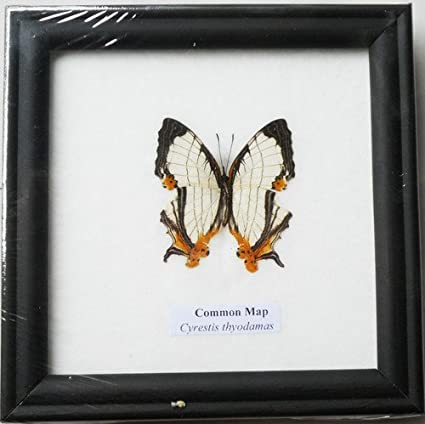 Amazon.com : FRAMED REAL BEAUTIFUL THE COMMON MAP BUTTERFLY DISPLAY ...