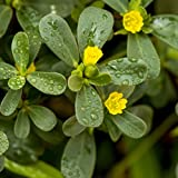 Outsidepride Purslane Plant Flower Seed - 5000 Seeds