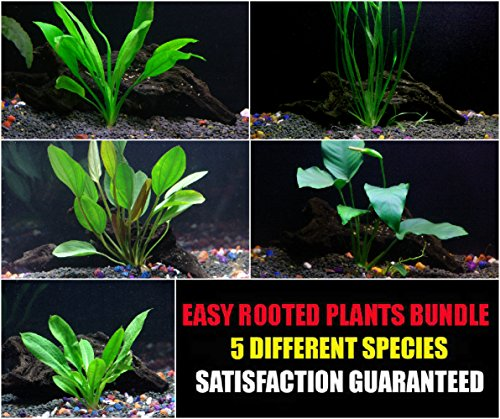 rooted-plants-bundle-anubias-amazon-sword-rosette-sword-and-vallisneria