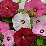 Outsidepride Hibiscus Luna Flower Seed Mix - 20 Seeds