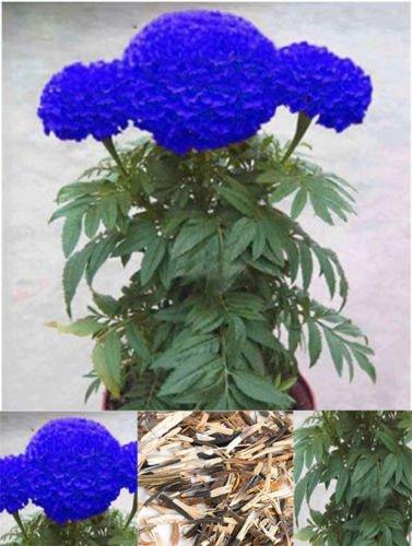 200Pcs Rare Blue Marigold Maidenhair Seeds Home Garden Edible Flower Plant BD77