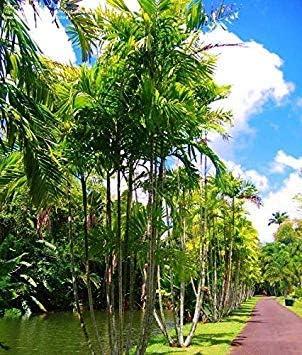 MacArthur Palma - Ptychosperma macarthurii - 7 Semillas - Palmera - Tropicals: Amazon.es: Jardín