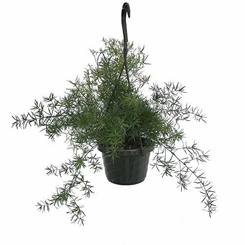 Asparagus Ferns (Asparagus Sprengeri Fern - Asparagus - 6