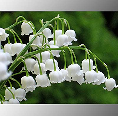 (White Lily *Ambizu*) Heirloom White Lily of the Valley Convallaria Majalis Perennial Flower Seeds, Professional Pack, 50 Seeds