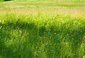 Blue Wildflowers in Meadow Photo Print Poster - 11x17