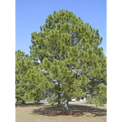 Loblolly Pine, Pinus taeda, Tree Seeds (Fast, Evergreen) (20) : Garden & Outdoor