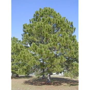 Amazon.com: Semillas de árbol – 20 semillas de pino ...