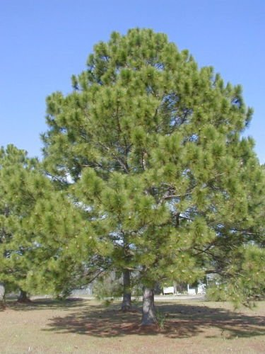 Loblolly Pine, Pinus taeda, Tree Seeds (20 Seeds) - Loblolly Pine Trees