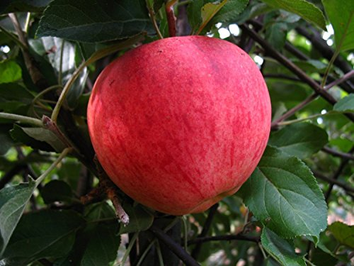 Apfelbaum, Elstar, Halbstamm, Kernobst, Apfel rot, ca. 175 cm, im Kübel, mit Dünger, Malus domestica, Obstbaum winterfest, EVRGREEN