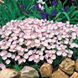 Outsidepride Primrose Showy Evening - 5000 Seeds