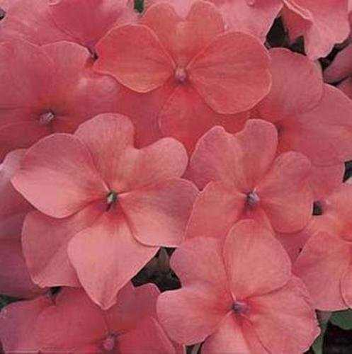 Impatiens Accent - Impatiens Accent Series Salmon Annual Seeds