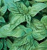 David's Garden Seeds Herb Basil Pesto Italian Large Leaf D944A (Green) 200 Open Pollinated Seeds