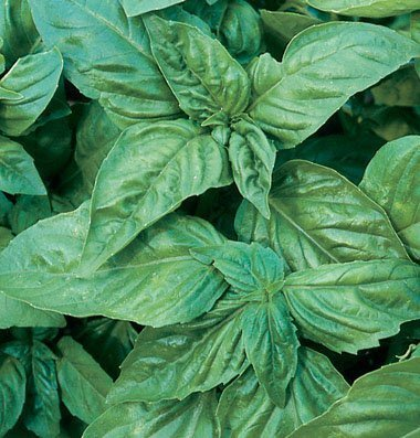 Herb Basil Pesto Italian Large Leaf D944A (Green) 200 Non-GMO, Open Pollinated Seeds ()