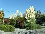White Pampas Grass (50 seeds) huge giant decorative clump grass