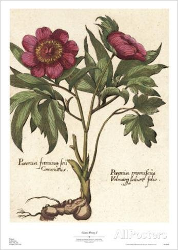 Engraving Reproduction Poster (Giant Peony I by Ludwig van Houtte 24x18 Art Print Poster Botanical Hand Colored Engraving Reproduction)