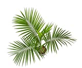 Costa Farms Majesty Palm Tree, Live Indoor Plant, 3