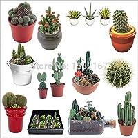 Pinkdose Fairy20pcs / Bag Suculentas Planta Cactus híbrido