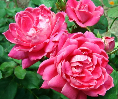 'Double Pink Knock Out' Rose - Hot Pink - Disease Resistant - 4