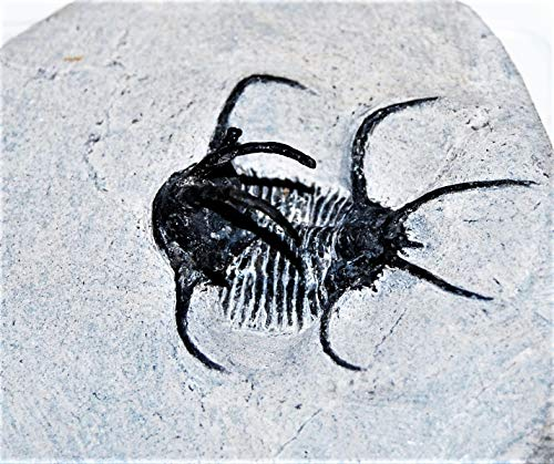 Ceratages Trilobite Fossil Morocco 390 Million Years Old #14331 13o by Fossils, Meteorites, & More (Image #3)